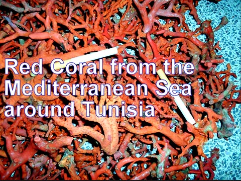Genuine red coral